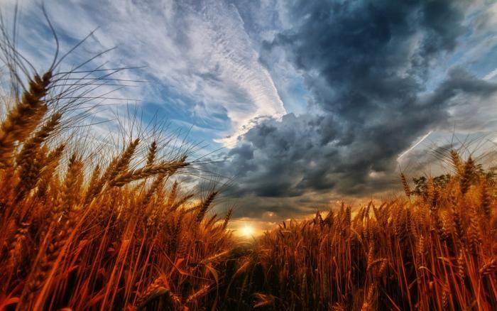 пшеничное поле и небо